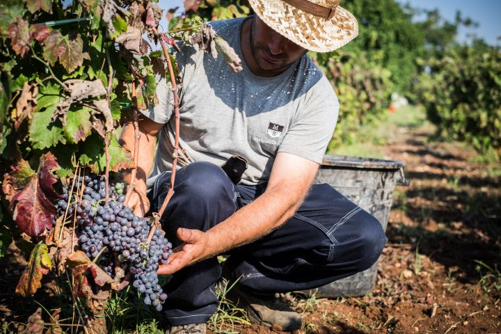 grape harvest at the wineries